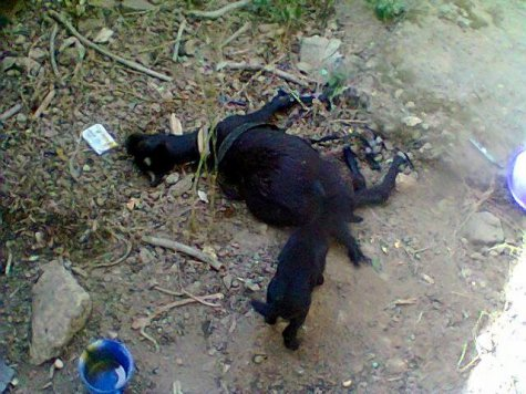 Photo of Goat Dies After Taking Poisoned Food Meant For Man's Family (Photos)