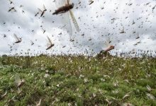 Pakistan to Set up National Locust Control Cell to Combat Insects