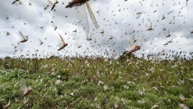 Photo of Pakistan to Set up National Locust Control Cell to Combat Insects Swarms – Minister