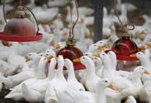 South Korea culls 19000 ducks after highly pathogenic H5N8 bird flu