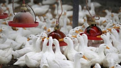 South Korea culls 19000 ducks after highly pathogenic H5N8 bird flu